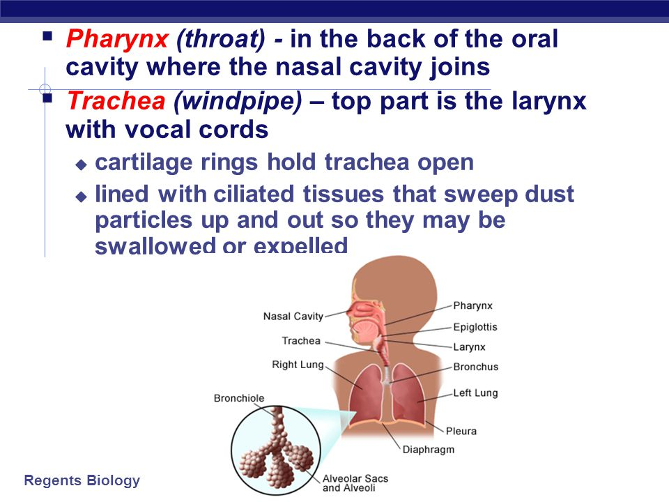 Regents Biology Breathing and Homeostasis  Homeostasis  keeping the internal environment of the body balanced  need to balance O 2 in and CO 2 out  need to balance energy (ATP) production  Exercise  breathe faster  need more ATP  bring in more O 2 & remove more CO 2  Disease  poor lung or heart function = breathe faster  need to work harder to bring in O 2 & remove CO 2 O2O2 ATP CO 2