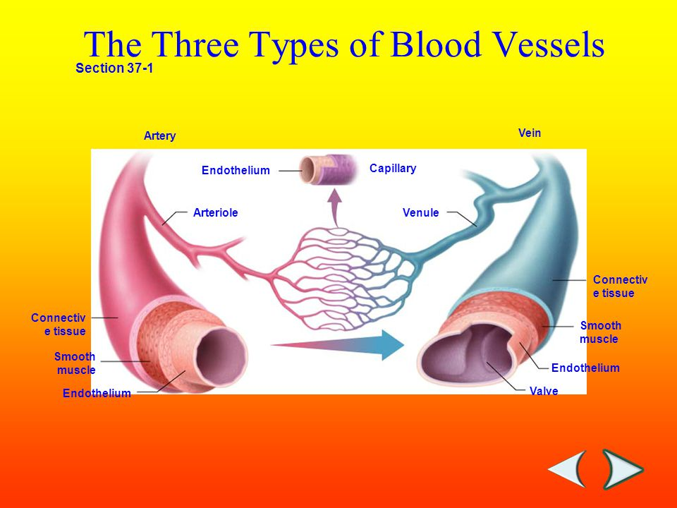 Section 37-1 Capillary Connectiv e tissue Smooth muscle Endothelium Valve Venule Endothelium Arteriole Vein Artery The Three Types of Blood Vessels