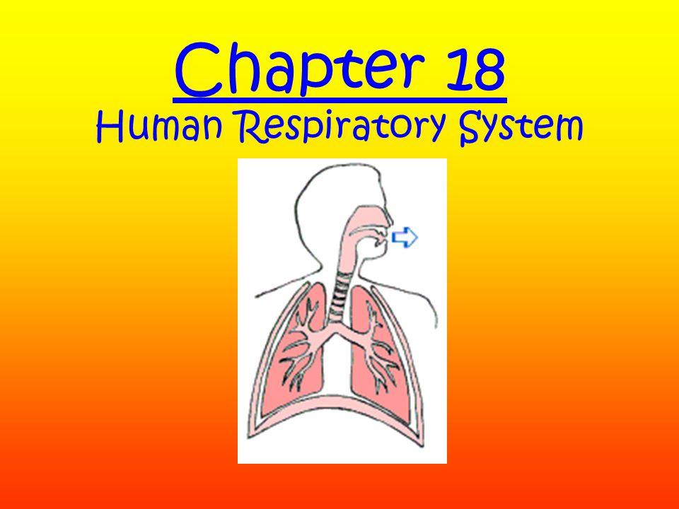 Air inhaled Diaphragm Rib cage rises Air exhale d Diaphragm Rib cage lowers InhalationExhalation The Mechanics of Breathing