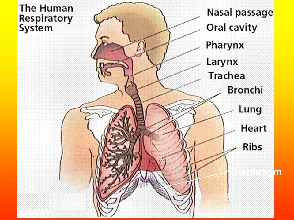 (I) Human Respiratory System Composed of a network of passageways which permits air to flow from the external environment and into the lungs Kept open By cartilaginous rings