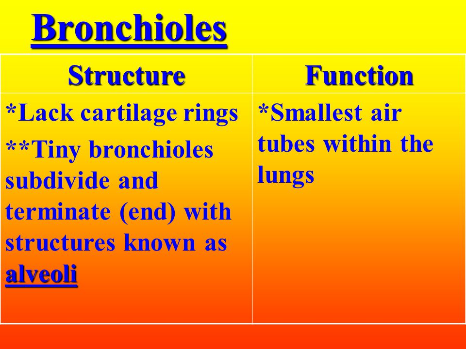 Bronchi (bronchus = singular)StructureFunction *Trachea divides into two major divisions known as bronchi **also contain cartilage rings ***The bronchi subdivide many times forming smaller tubules known as bronchioles *Two tubes air leading to the lungs