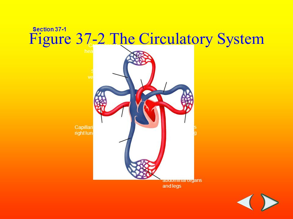 Chapter 18 Human Respiratory System