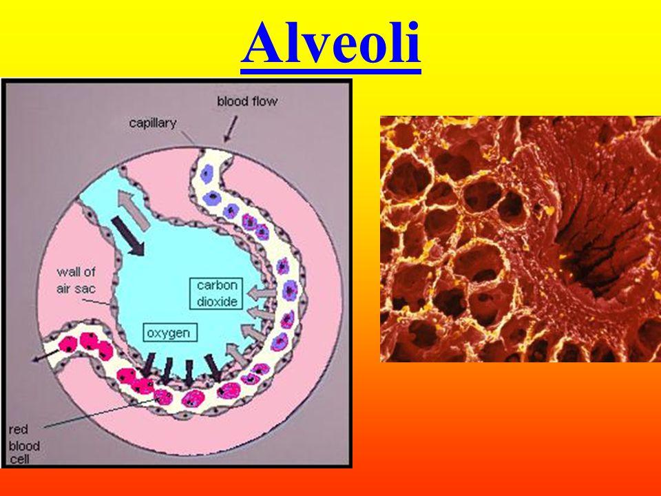 Alveoli (s.