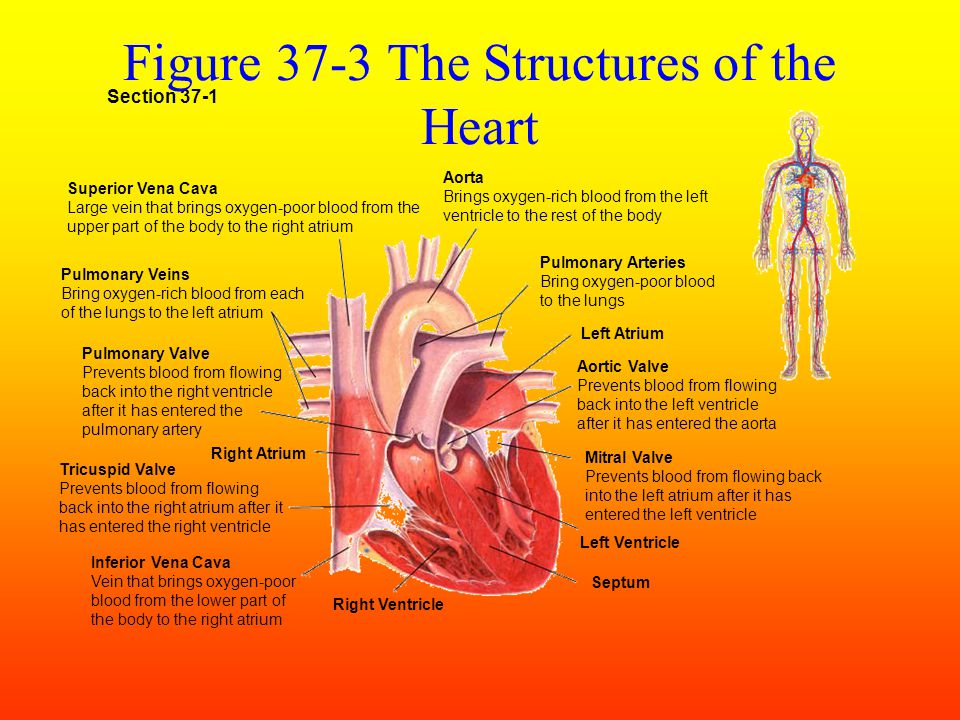 Section 37-1 Capillaries of head and arms Capillaries of abdominal organs and legs Inferior vena cava Pulmonary vein Capillaries of right lung Superior vena cava Aorta Pulmonary artery Capillaries of left lung Figure 37-2 The Circulatory System