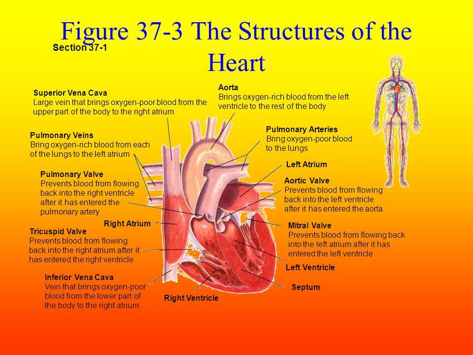 (II) Breathing Process