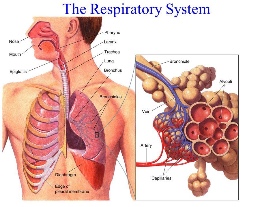 The path Oxygen must travel along Your Respiratory System Nose (nasal cavity) Pharynx Larynx Trachea Bronchi Bronchioles alveoli pleura diaphragm