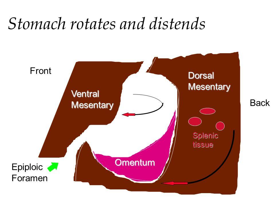 Stomach rotates and distends Front Back Omentum DorsalMesentary VentralMesentary Splenictissue Epiploic Foramen