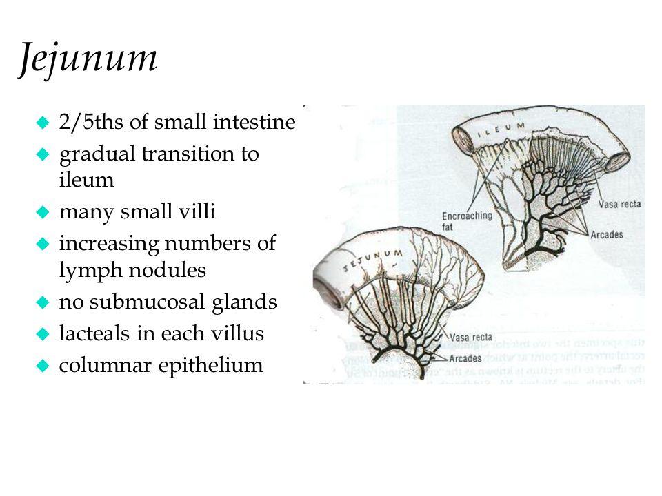 Jejunum u 2/5ths of small intestine u gradual transition to ileum u many small villi u increasing numbers of lymph nodules u no submucosal glands u lacteals in each villus u columnar epithelium