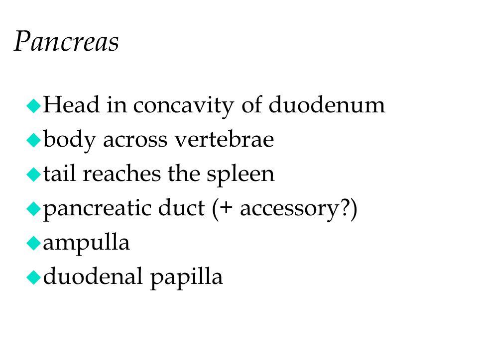 u Head in concavity of duodenum u body across vertebrae u tail reaches the spleen u pancreatic duct (+ accessory?) u ampulla u duodenal papilla