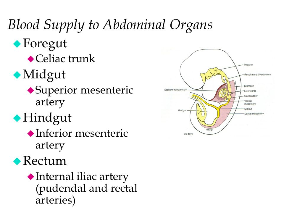 Blood Supply to Abdominal Organs u Foregut u Celiac trunk u Midgut u Superior mesenteric artery u Hindgut u Inferior mesenteric artery u Rectum u Internal iliac artery (pudendal and rectal arteries)