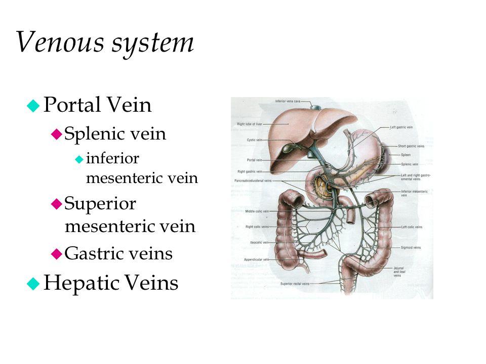 Venous system u Portal Vein u Splenic vein u inferior mesenteric vein u Superior mesenteric vein u Gastric veins u Hepatic Veins Inf. Vena Cava