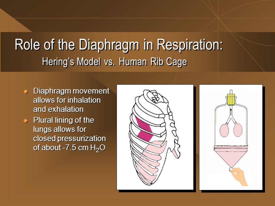 Role of the Diaphragm in Respiration: Hering's Model vs. Human Rib Cage  Diaphragm movement allows for inhalation and exhalation  Plural lining of t