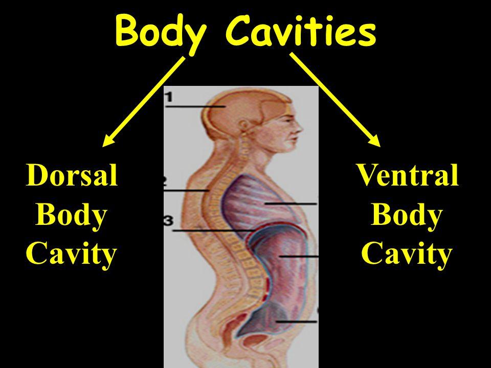 Body Cavities Dorsal Body Cavity Ventral Body Cavity