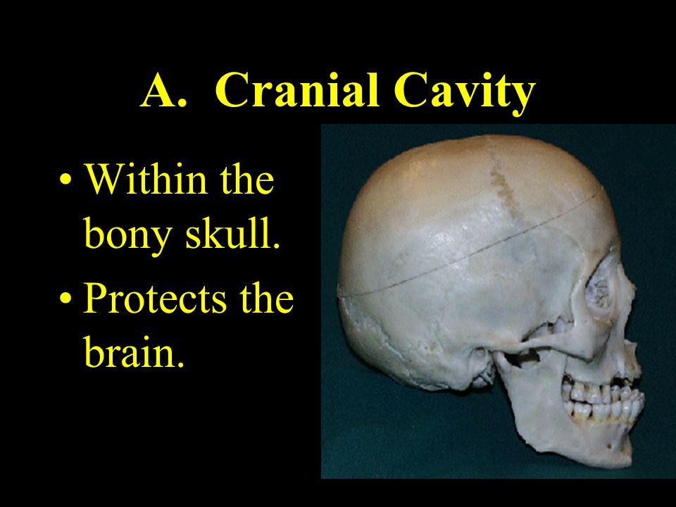 A. Cranial Cavity Within the bony skull. Protects the brain.