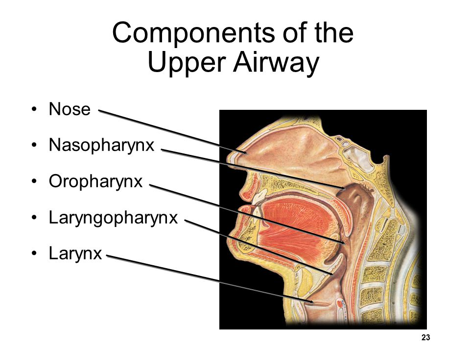 Components of the Upper Airway Nose Nasopharynx Oropharynx Laryngopharynx Larynx 23