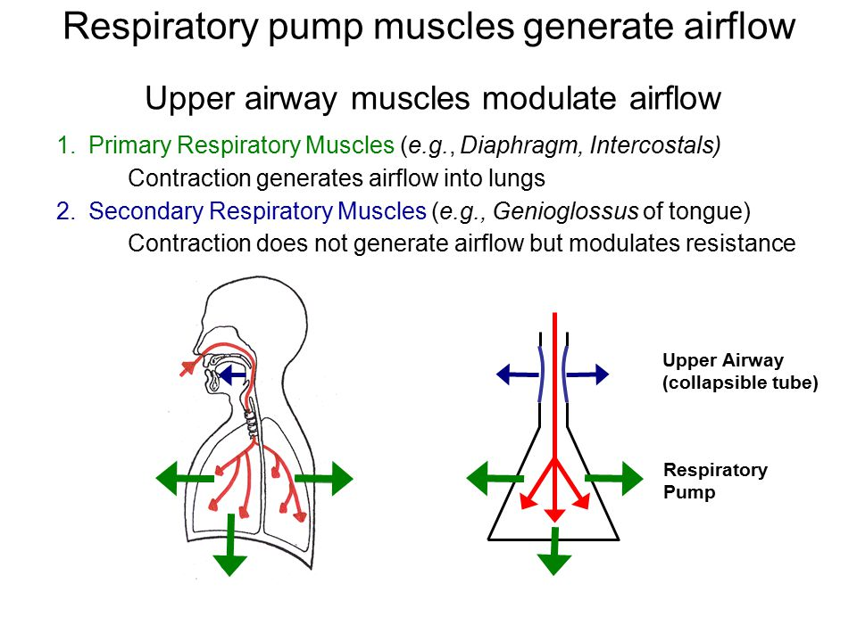 Upper airway muscles modulate airflow 1.Primary Respiratory Muscles (e.g., Diaphragm, Intercostals) Contraction generates airflow into lungs 2.Secondary Respiratory Muscles (e.g., Genioglossus of tongue) Contraction does not generate airflow but modulates resistance Upper Airway (collapsible tube) Respiratory Pump Respiratory pump muscles generate airflow