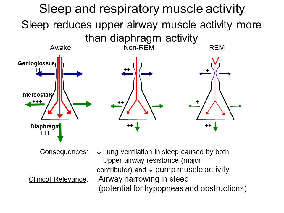 Awake Genioglossus +++ Intercostals +++ Diaphragm +++ Non-REM ++ REM ++ + + Consequences:  Lung ventilation in sleep caused by both  Upper airway resistance (major contributor) and  pump muscle activity Clinical Relevance: Airway narrowing in sleep (potential for hypopneas and obstructions) Sleep reduces upper airway muscle activity more than diaphragm activity Sleep and respiratory muscle activity