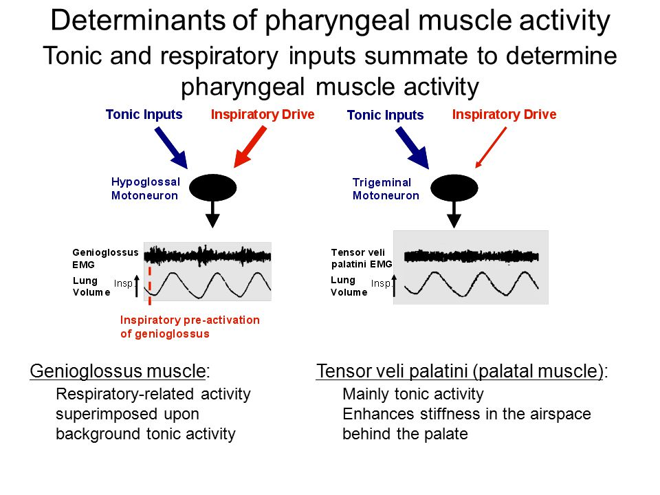Tonic and respiratory inputs summate to determine pharyngeal muscle activity Genioglossus muscle: Respiratory-related activity superimposed upon background tonic activity Tensor veli palatini (palatal muscle): Mainly tonic activity Enhances stiffness in the airspace behind the palate Determinants of pharyngeal muscle activity