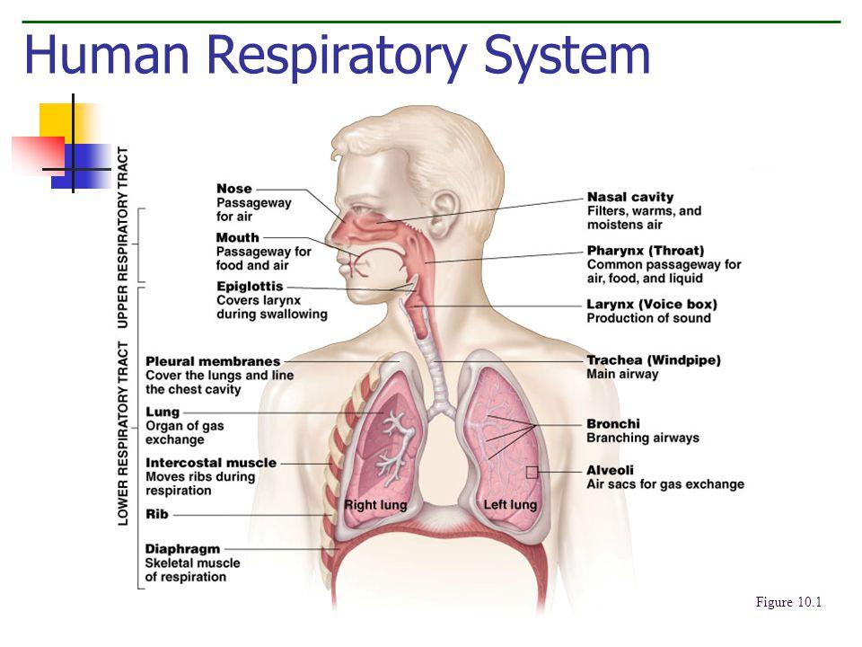 Human Respiratory System Figure 10.1