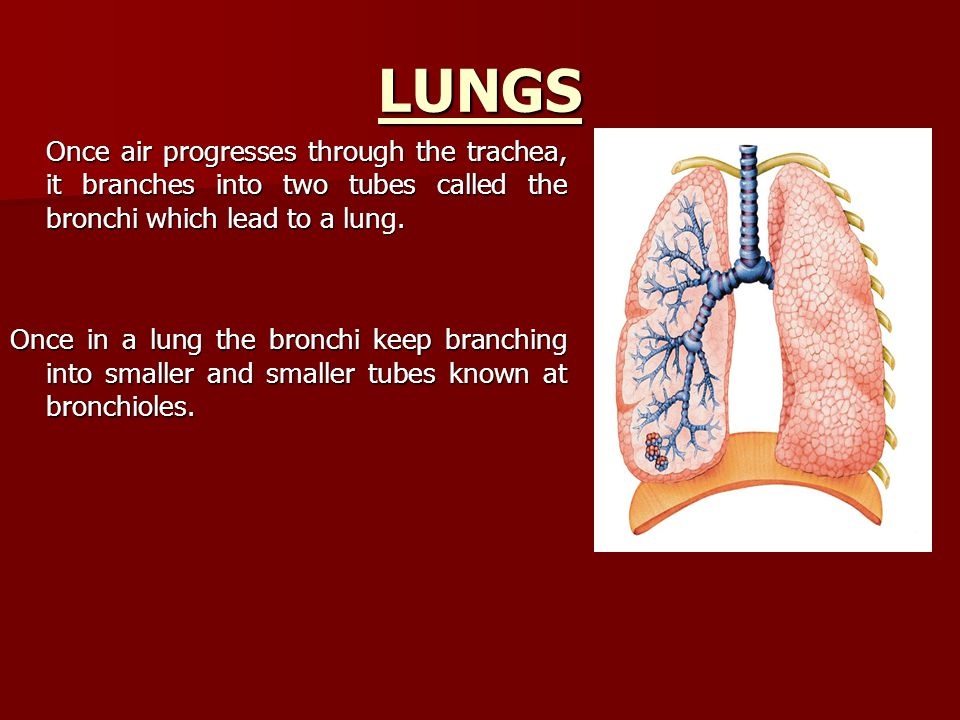 Lungs The bronchioles have air sacs at the end.The bronchioles have air sacs at the end.