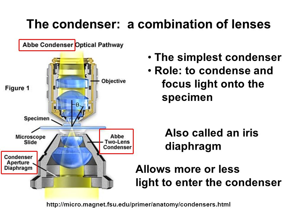 http://micro.magnet.fsu.edu/primer/anatomy/condensers.html The simplest condenser Role: to condense and focus light onto the specimen Allows more or less light to enter the condenser The condenser: a combination of lenses Also called an iris diaphragm