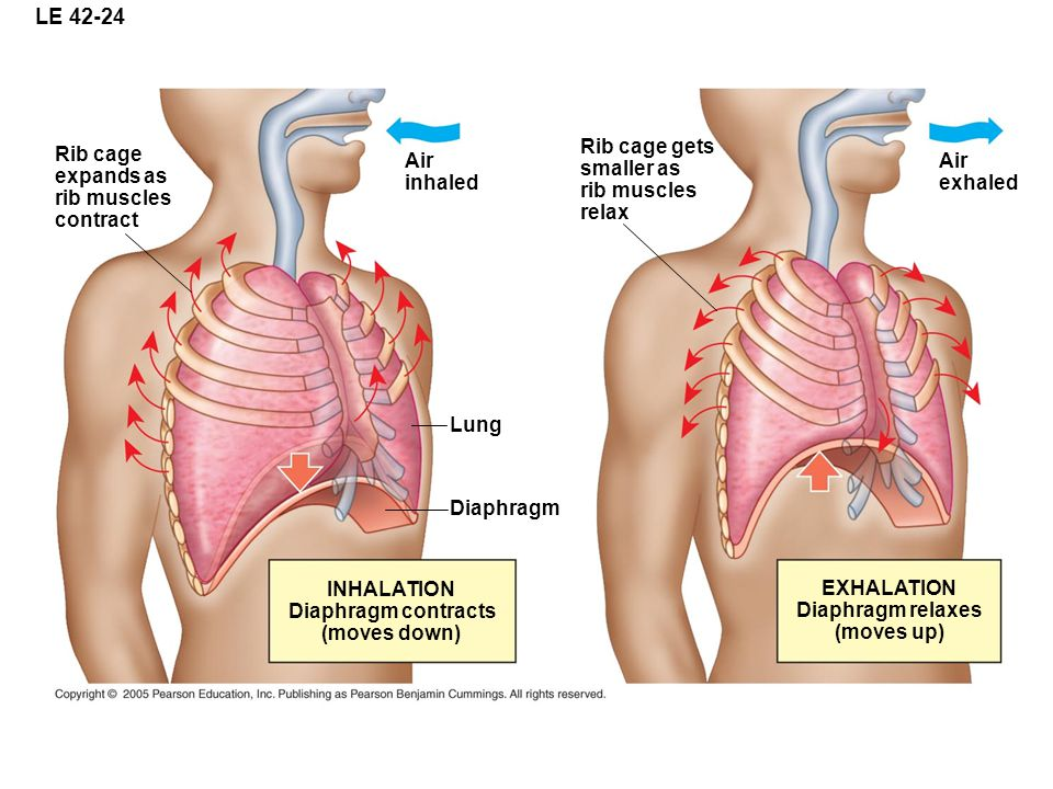LE 42-24 Rib cage expands as rib muscles contract Air inhaled Lung Diaphragm INHALATION Diaphragm contracts (moves down) Rib cage gets smaller as rib muscles relax Air exhaled EXHALATION Diaphragm relaxes (moves up)