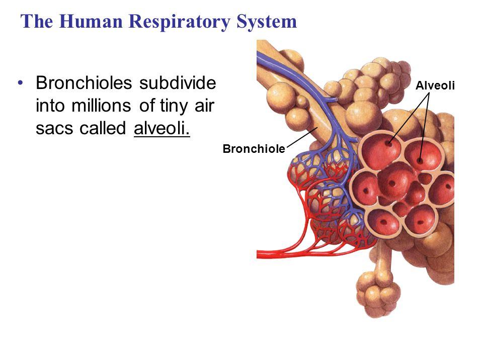 The Human Respiratory System Bronchioles subdivide into millions of tiny air sacs called alveoli. Alveoli Bronchiole