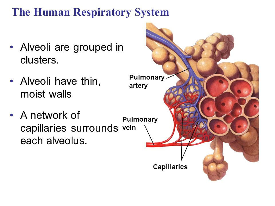 The Human Respiratory System Alveoli are grouped in clusters. Alveoli have thin, moist walls A network of capillaries surrounds each alveolus. Pulmona