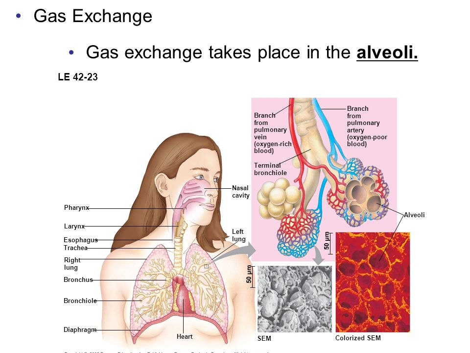 Gas Exchange Gas exchange takes place in the alveoli. Capillary LE 42-23 Branch from pulmonary vein (oxygen-rich blood) Terminal bronchiole Branch fro