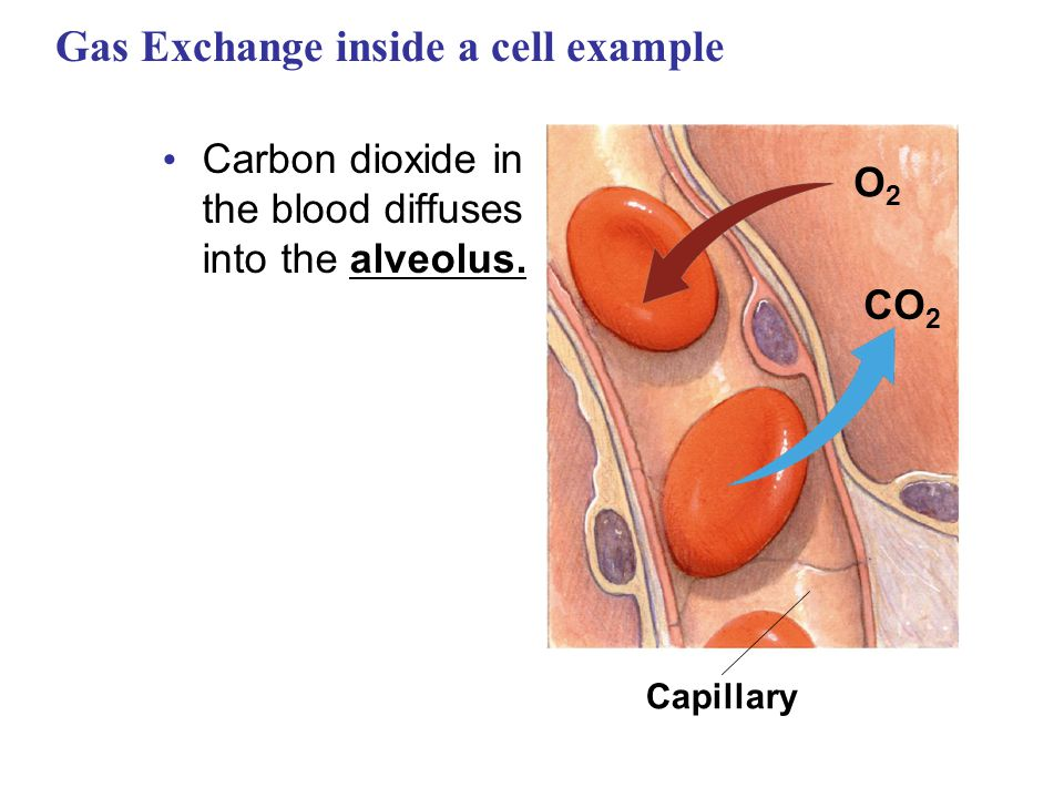 Gas Exchange inside a cell example Carbon dioxide in the blood diffuses into the alveolus. Capillary O2O2 CO 2