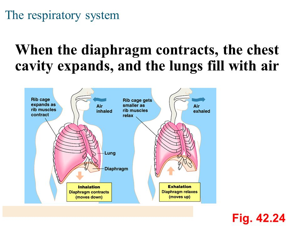 The respiratory system When the diaphragm contracts, the chest cavity expands, and the lungs fill with air Fig.