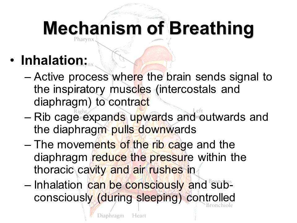 Mechanism of Breathing Inhalation: –Active process where the brain sends signal to the inspiratory muscles (intercostals and diaphragm) to contract –R