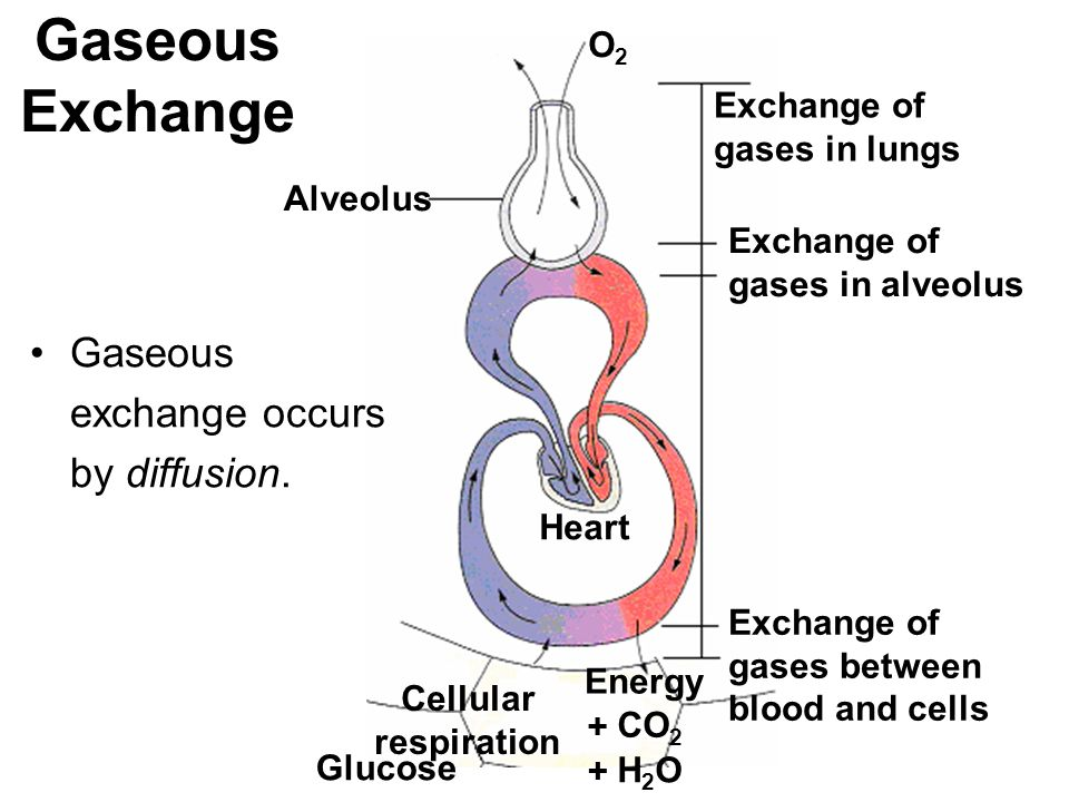 Gaseous exchange occurs by diffusion. Cellular respiration Alveolus O2O2 Exchange of gases in lungs Exchange of gases in alveolus Exchange of gases be