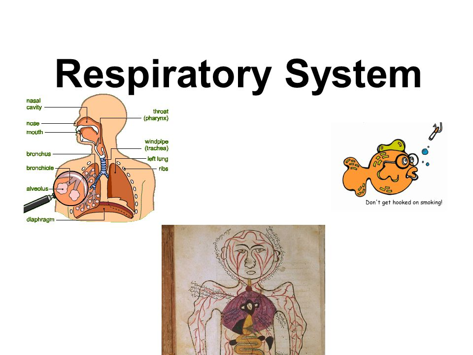 C.Respiratory Membrane 1.The respiratory membrane consists of the epithelial cells of the alveolus, the endothelial cells of the capillary, and the two fused basement membranes of these layers.