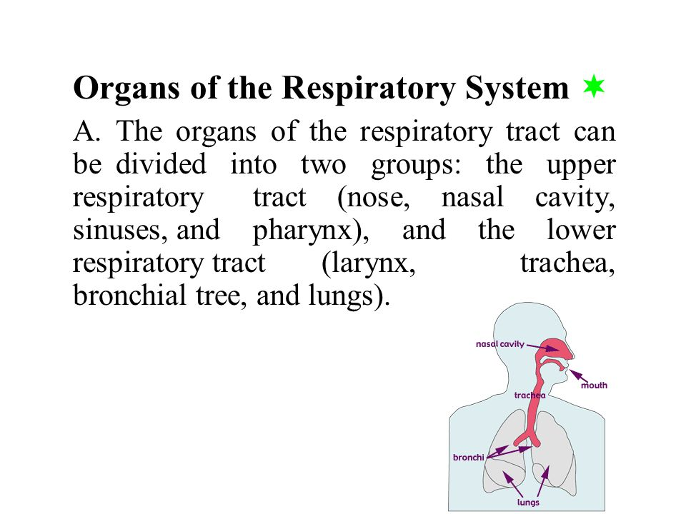 a.If either carbon dioxide or hydrogen ion concentrations rise, the central chemoreceptors signal the respiratory center, and breathing rate increases.