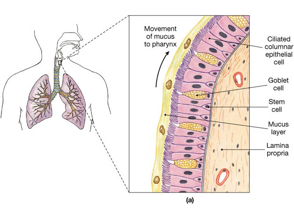 4.An inflation reflex, triggered by stretch receptors in the visceral pleura, bronchioles, and alveoli, helps to prevent overinflation of the lungs during forceful breathing.