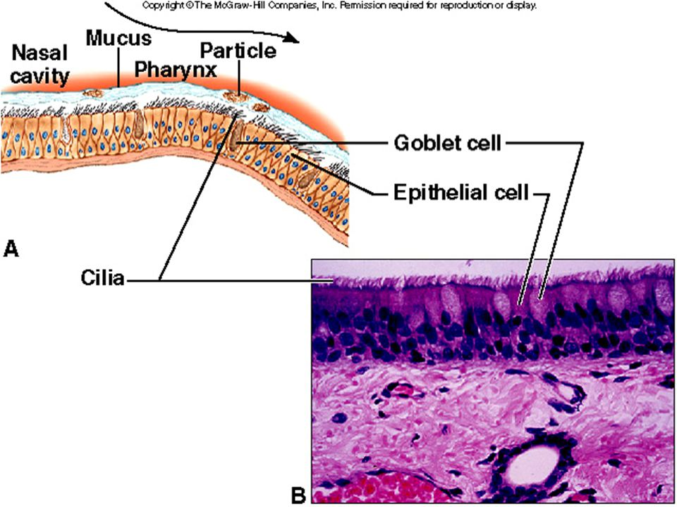 16.5 Alveolar Gas Exchanges Objective- Describe the structure and function of the aveoli and respiratory membrane.