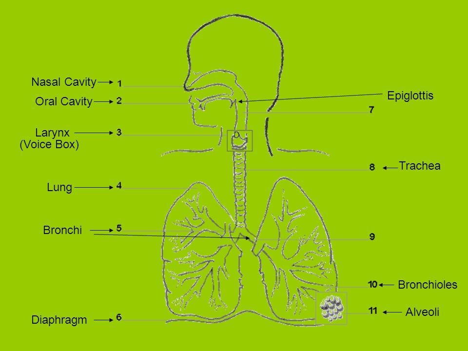 Nasal Cavity Oral Cavity Larynx Trachea Lung Bronchi Diaphragm Alveoli Bronchioles (Voice Box) Epiglottis