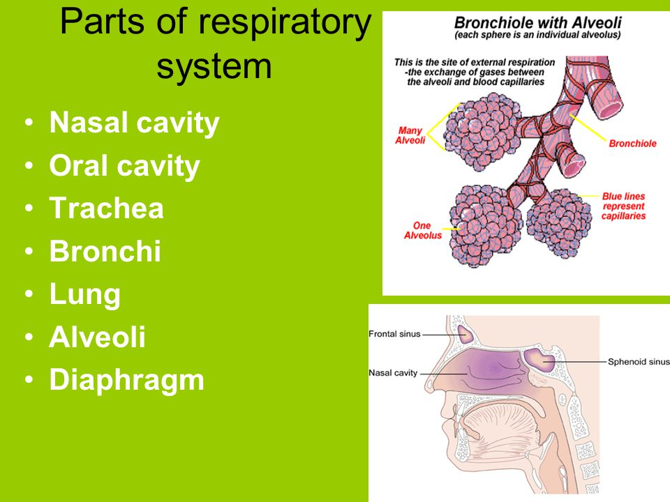 Parts of respiratory system Nasal cavity Oral cavity Trachea Bronchi Lung Alveoli Diaphragm