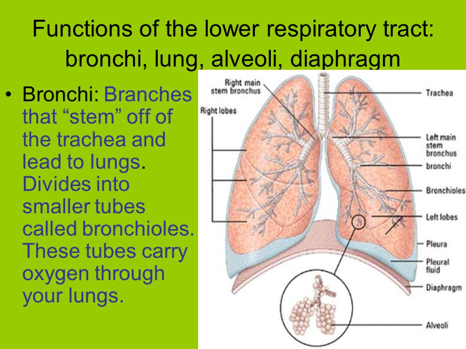Functions of the lower respiratory tract: bronchi, lung, alveoli, diaphragm Bronchi: Branches that stem off of the trachea and lead to lungs.