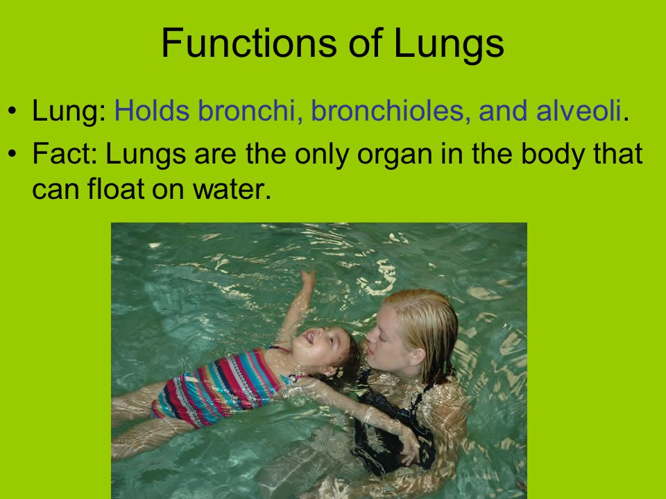 Functions of Lungs Lung: Holds bronchi, bronchioles, and alveoli.