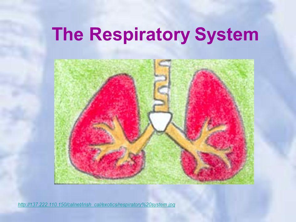 The Respiratory System http://137.222.110.150/calnet/irish_cal/exotics/respiratory%20system.jpg