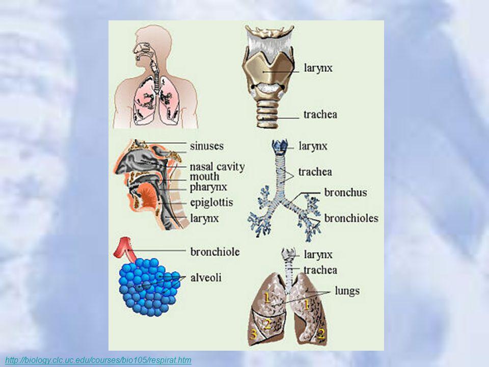 http://biology.clc.uc.edu/courses/bio105/respirat.htm