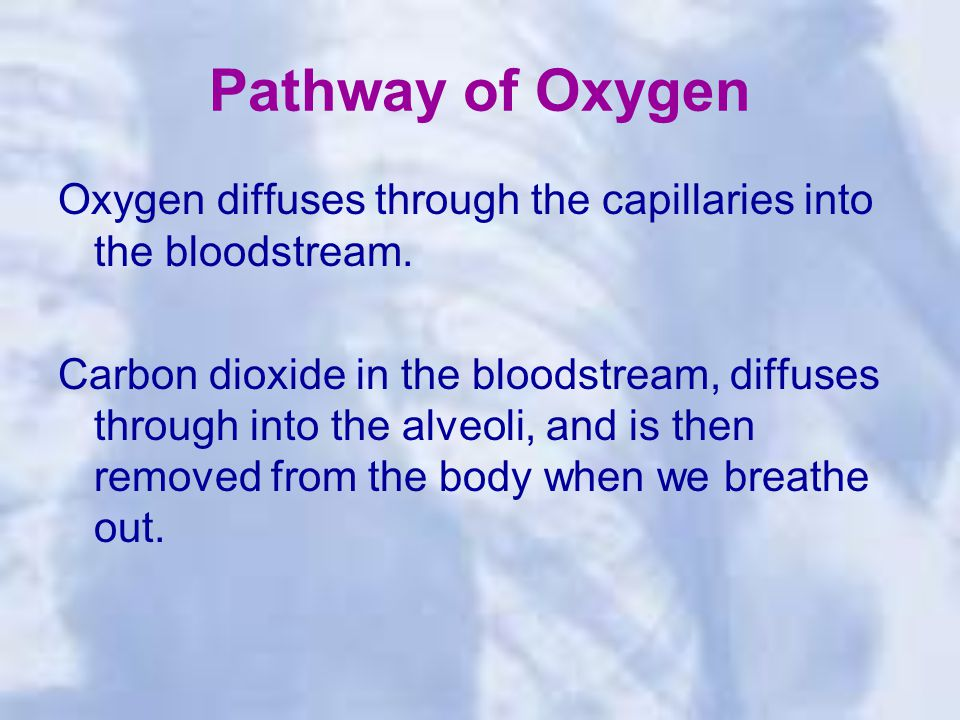 Pathway of Oxygen Oxygen diffuses through the capillaries into the bloodstream.