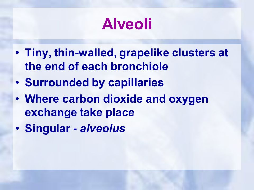 Alveoli Tiny, thin-walled, grapelike clusters at the end of each bronchiole Surrounded by capillaries Where carbon dioxide and oxygen exchange take place Singular - alveolus