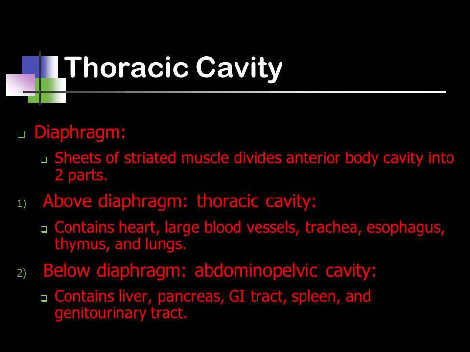 Thoracic Cavity  Diaphragm:  Sheets of striated muscle divides anterior body cavity into 2 parts.