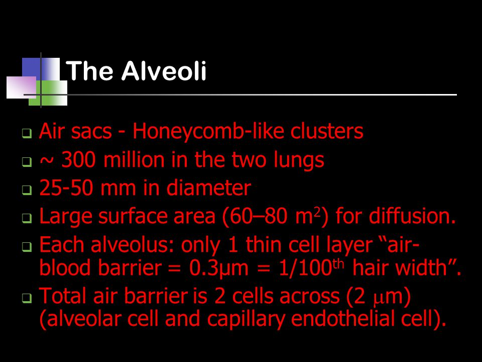 The Alveoli  Air sacs - Honeycomb-like clusters  ~ 300 million in the two lungs  25-50 mm in diameter  Large surface area (60–80 m 2 ) for diffusion.