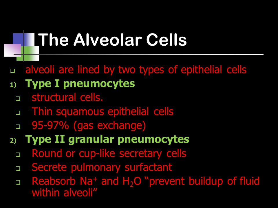 The Alveolar Cells  alveoli are lined by two types of epithelial cells 1) Type I pneumocytes  structural cells.