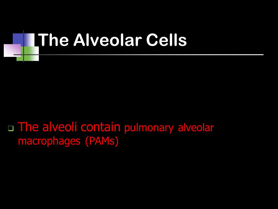 The Alveolar Cells  The alveoli contain pulmonary alveolar macrophages (PAMs)