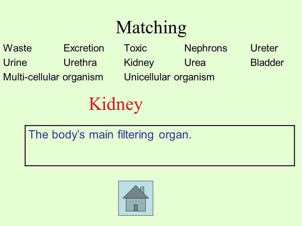 Matching Waste ExcretionToxic Nephrons Ureter UrineUrethraKidneyUrea Bladder Multi-cellular organismUnicellular organism Kidney The body's main filtering organ.